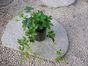 シッサスシュガーバイン(常緑多年草)道内は室内越冬植物