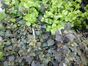 リシマキアミッドナイトサン(宿根草)